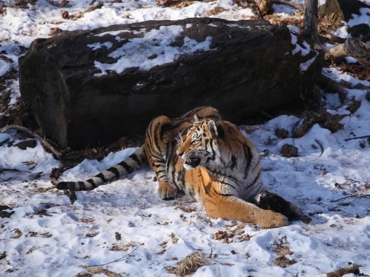 Жители Приморья подкармливают одинокого тигра