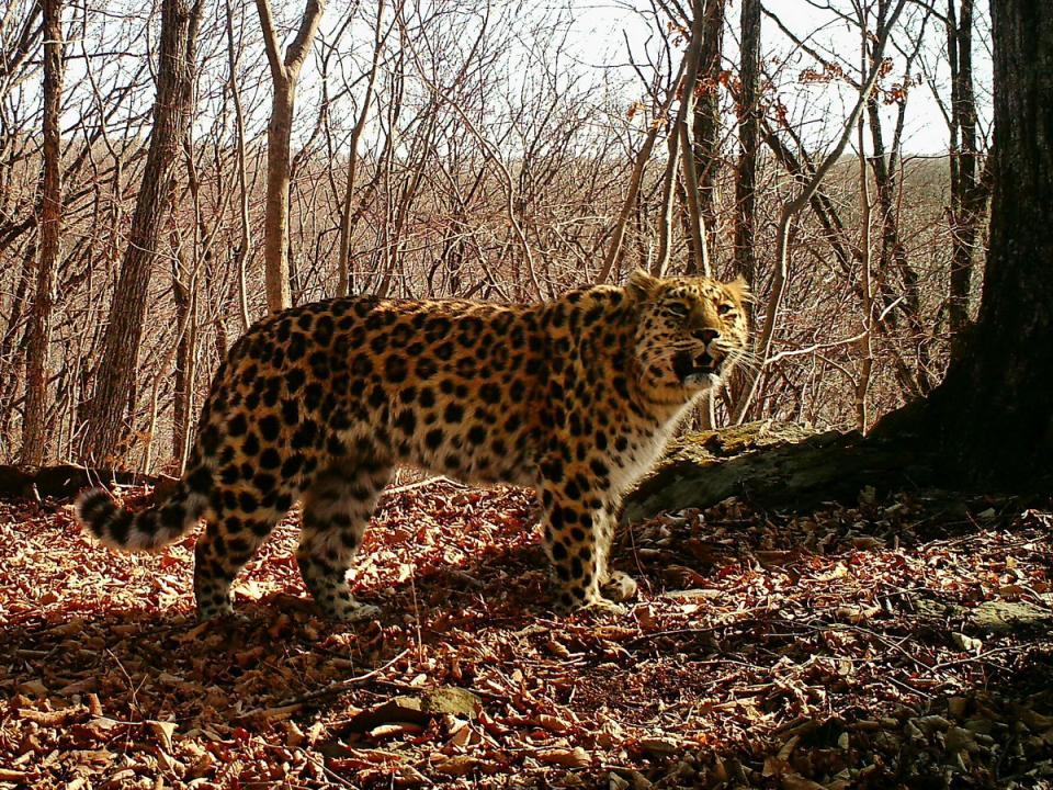 Пострадавший в Приморье в результате ДТП леопард остался жив