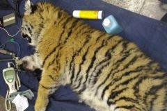 Полугодовалого тигренка поймали в Приморье
