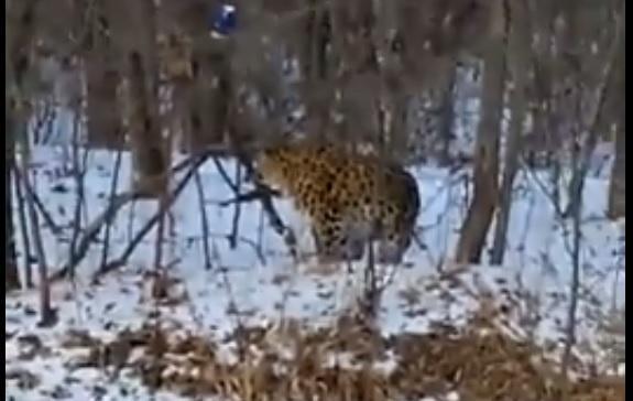 Очевидцам удалось запечатлеть леопарда в Приморье