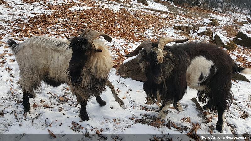 Два выживших козла подрались в Приморье