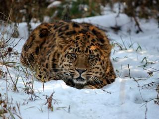 Леопарда-охотника лишили новогоднего ужина воры-автомобилисты в Приморье