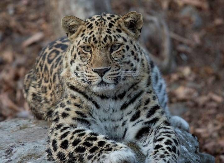 Программа переселения леопардов стартовала вПриморье