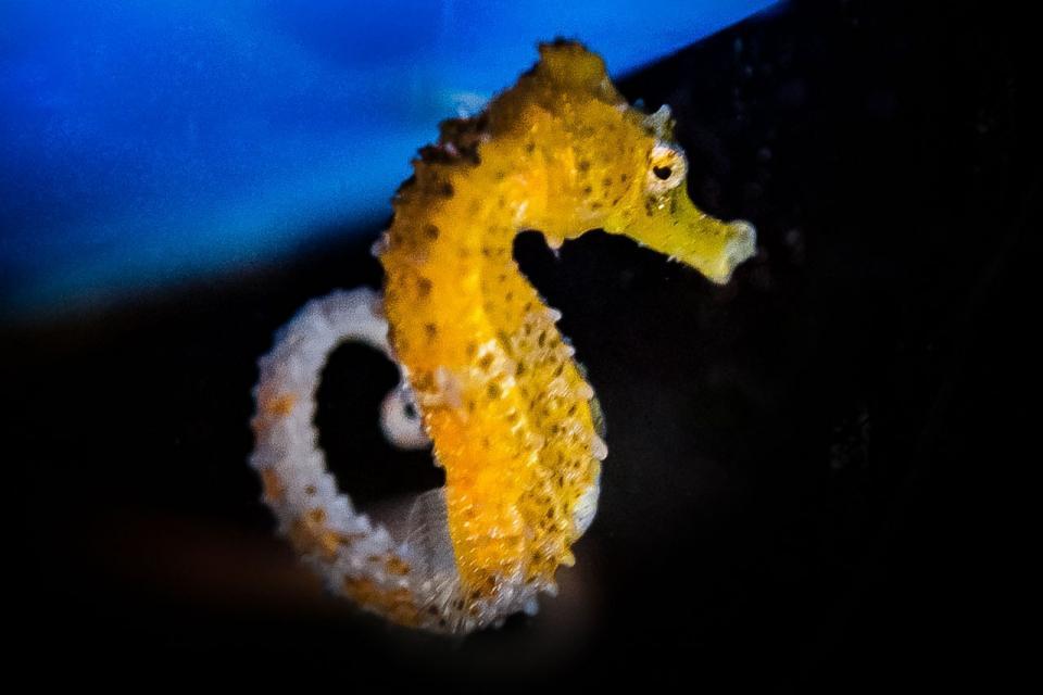 Морских коньков поселили в Приморский океанариум