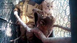 Леопардовый кот поселился в Приморском сафари-парке