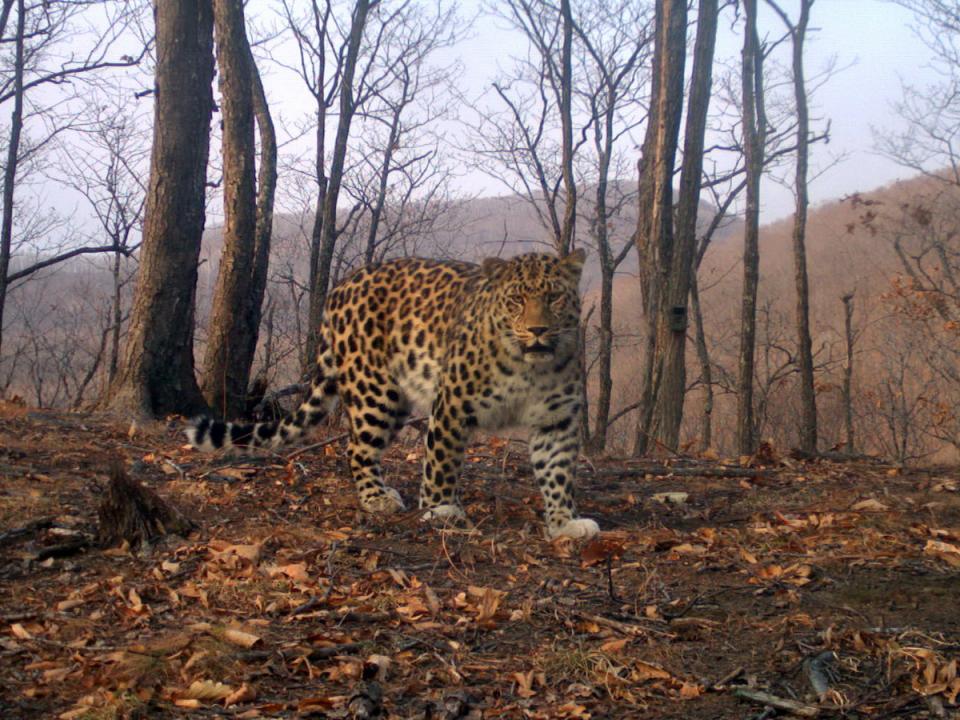 Знаменитый леопард потрудился на славу в Приморье
