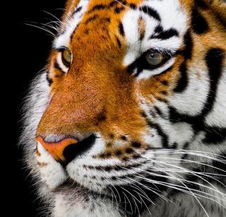Фото: pixabay.com   В Приморье охотники застали тигра за обедом