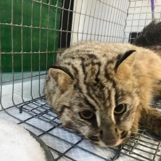 Фото: скриншот siberiantiger_center | Еще один дальневосточный кот угодил в капкан в Приморье