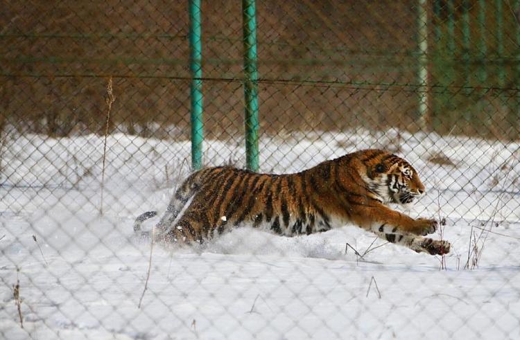 ВПриморье тигр напал наохотника