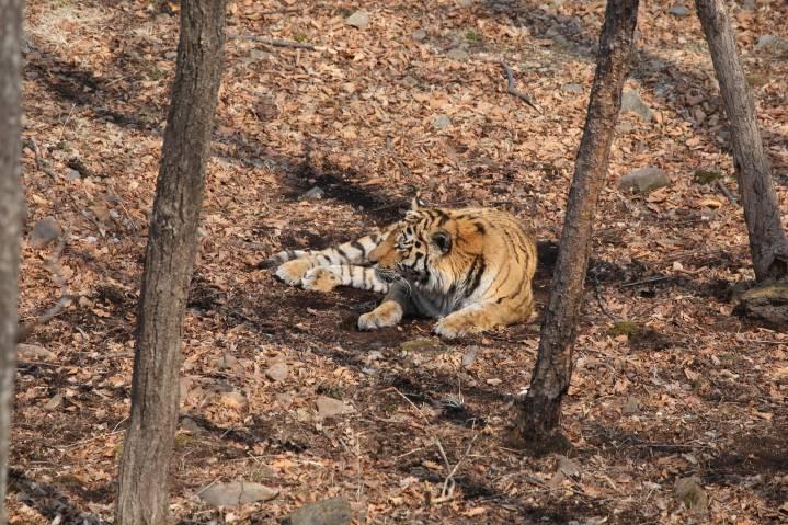 Принцем иВостоком нарекли 2-х годовалых тигрят иззаповедника «Бастак» вЕАО