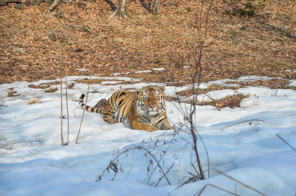дневник логово тигров фон новых встречи редких