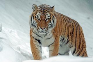 Фото: pixabay.com   «Он уже в городе»: крупный тигр добрался до людей в Приморье