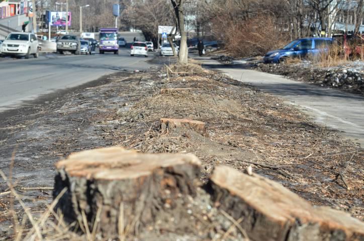 Жители Владивостока возмущены массовой вырубкой деревьев на Толстого
