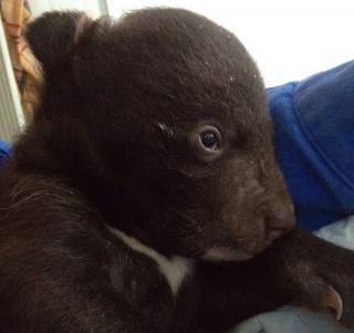 Сотрудники реабилитационного центра в Приморье борются за жизнь гималайского медвежонка