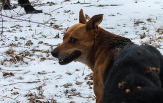 Около двух тысяч бродячих собак отловили в Приморье за три года