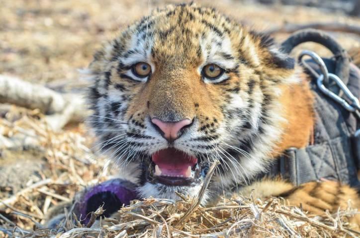 Экологи обнаружили вЛазовском заповеднике Приморья тигрицу счетырьмя тигрятами
