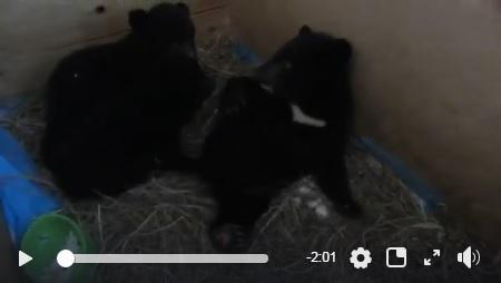 Бурые медвежата подружились со своим гималайским собратом в Приморье
