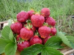 Плодово–ягодные риски