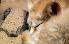 В Приморском сафари-парке родились лисята