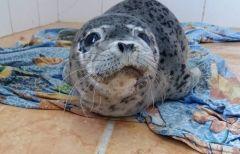 В Приморье нашли тюленя в тяжелом состоянии
