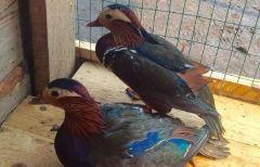 В приморском зоопарке поселились утки-мандаринки