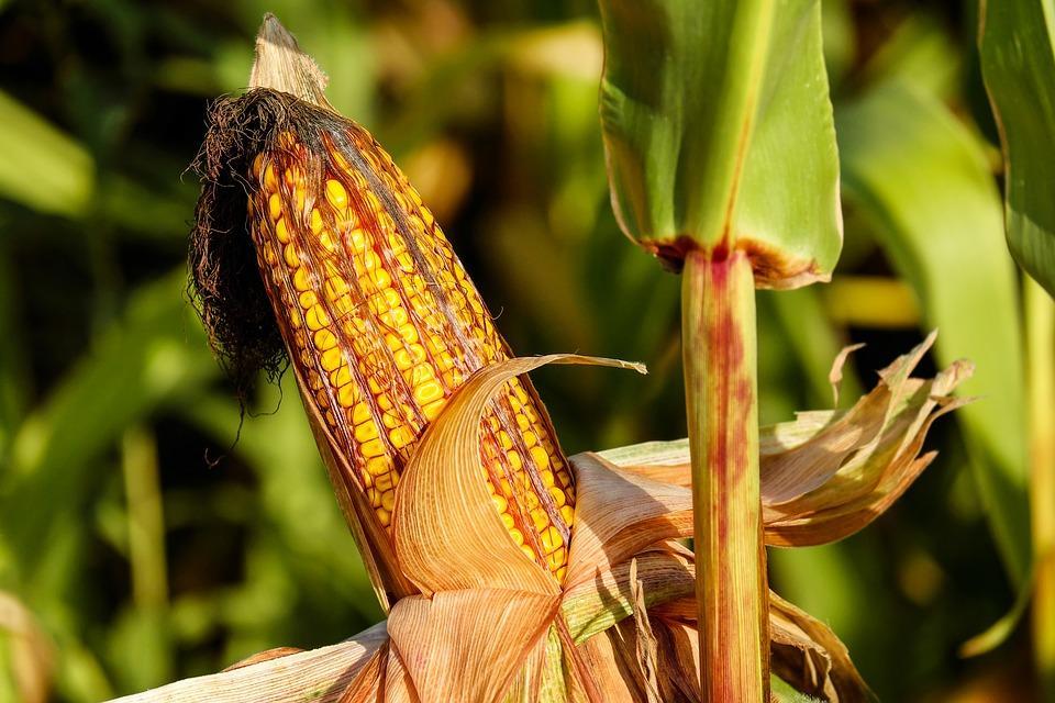 В Приморье приступили к посеву кукурузы