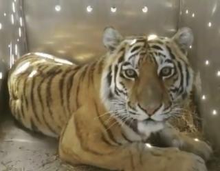 Фото: скриншот amurtigercenter | В Приморье отловлена хищница, державшая в страхе жителей одного из районов Приморья