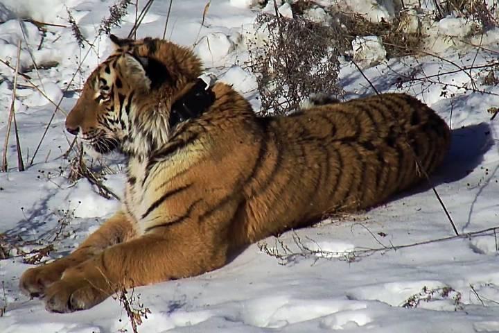 Молодая тигрица Филиппа возвратится вдикую природу