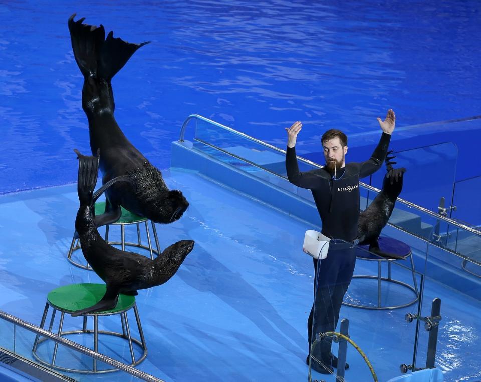 Морские котики радуют выступлениями зрителей Приморского океанариума