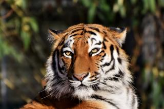 Фото: pixabay.com   Несколько ночей подряд взрослый тигр пугает жителей села в Приморье