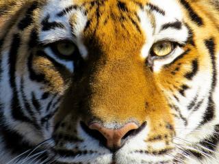 Фото: pixabay.com | Приморские водители встретили на дороге амурского тигра
