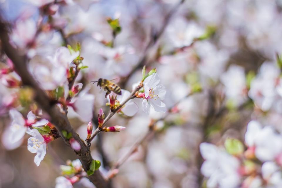 Цветут и пахнут: в Приморье открыт сезон сакуры