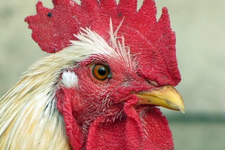 Ни одного факта заболевания домашней птицы птичьим гриппом в Приморье пока не выявлено