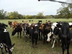Крупная компания из Новой Зеландии хочет производить молоко в Приморье