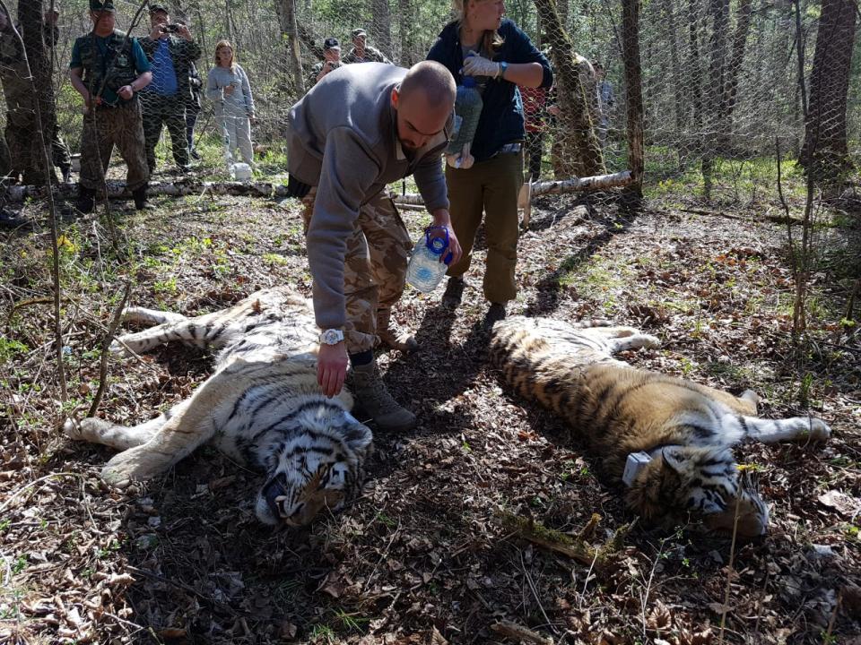 Тигр Сайхан и тигрица из Лазо осваиваются в дикой природе, где им предстоит жить
