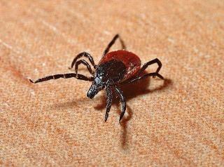 Фото: pixabay.com   В Приморье стремительно растет количество пострадавших от укусов клещей