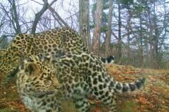 В Приморье мамы-леопарды выводят в свет все больше котят