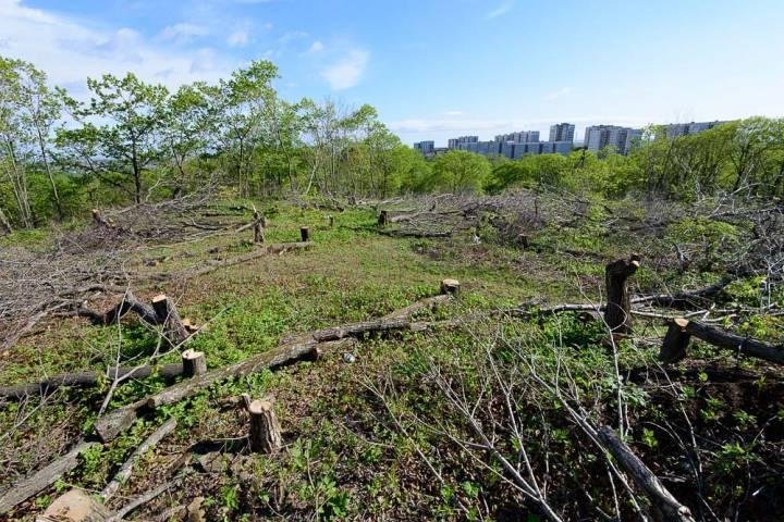 Таинственный застройщик незаконно вырубил более 700 деревьев в микрорайоне Владивостока