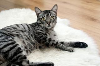Фото: pixabay.com | Названа смертельная для кошек болезнь, вызываемая особым типом коронавируса