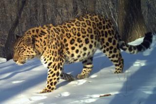 Фото: leopard-land.ru | Популярный российский певец стал хранителем дальневосточного леопарда