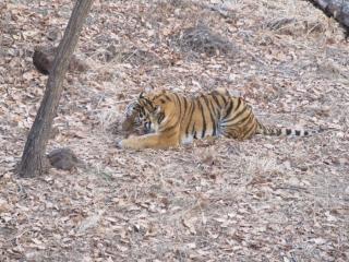 Фото: PRIMPRESS | Знаменитый тигр Амур, прославившийся дружбой с козлом Тимуром, вновь стал отцом