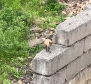 Фото: @irecommend_vdk   «Заразу распространяет»: во Владивостоке голодная лиса вышла к домам