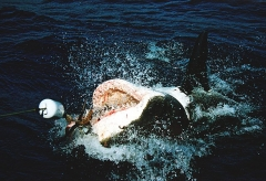 Крупная акула выпрыгнула из воды на глазах у рыбаков на Шаморе