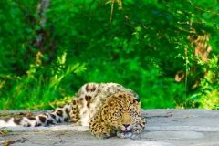 Леопарда Николая, лишившегося пальцев, поселили в Подмосковье