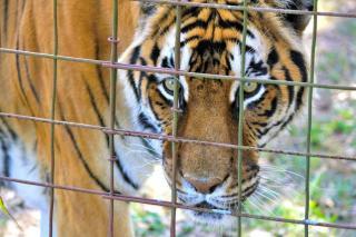 Фото: pixabay.com   Принято важное решение в отношении тигрицы, державшей в страхе жителей сел Хасанского района