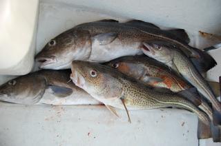 Фото: pixabay.com | Приморские рыбаки увеличили вылов трески