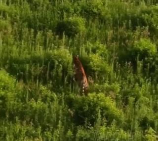 Фото: @mark2_che | Лицом к лицу: автоледи из Приморья неожиданно встретилась с амурским тигром