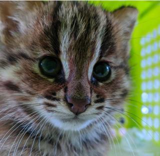 Фото: пресс-служба Центра реабилитации «Тигр» | В Приморье спасен котенок дальневосточного лесного кота