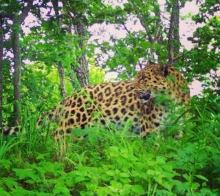 Фото: скриншот amurleo_land | В Приморье обнаружен леопард-долгожитель