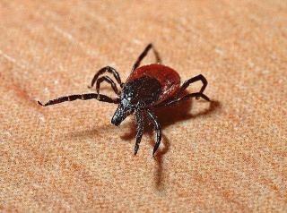 Фото: pixabay.com | Приморцев предупредили о необратимых последствиях укуса клеща